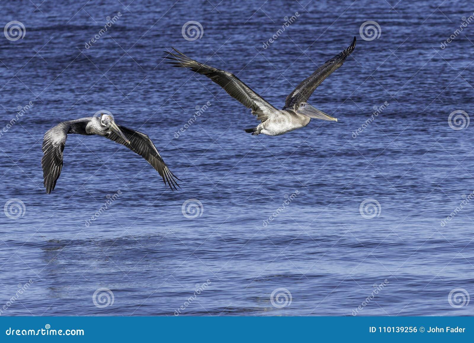 Dwa pelikana w locie nad wodą