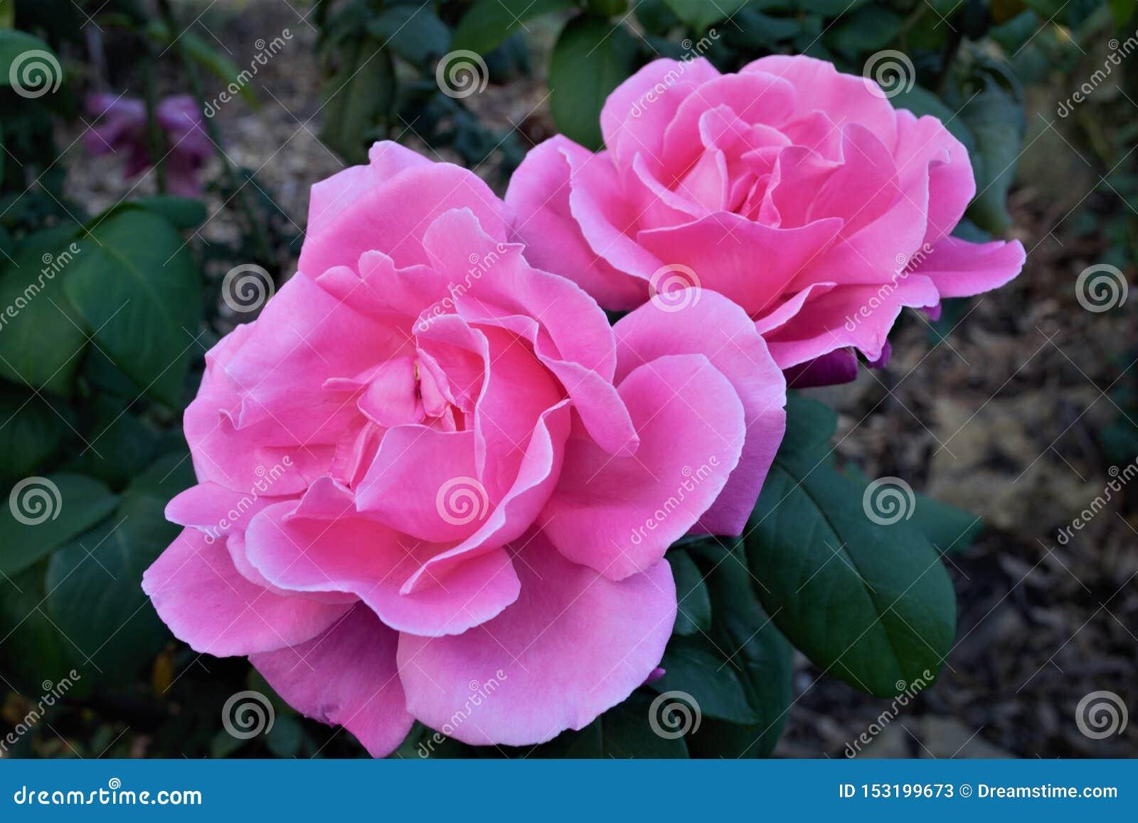 Dwa pięknej różowej róży w kwiacie w zakończeniu w górę