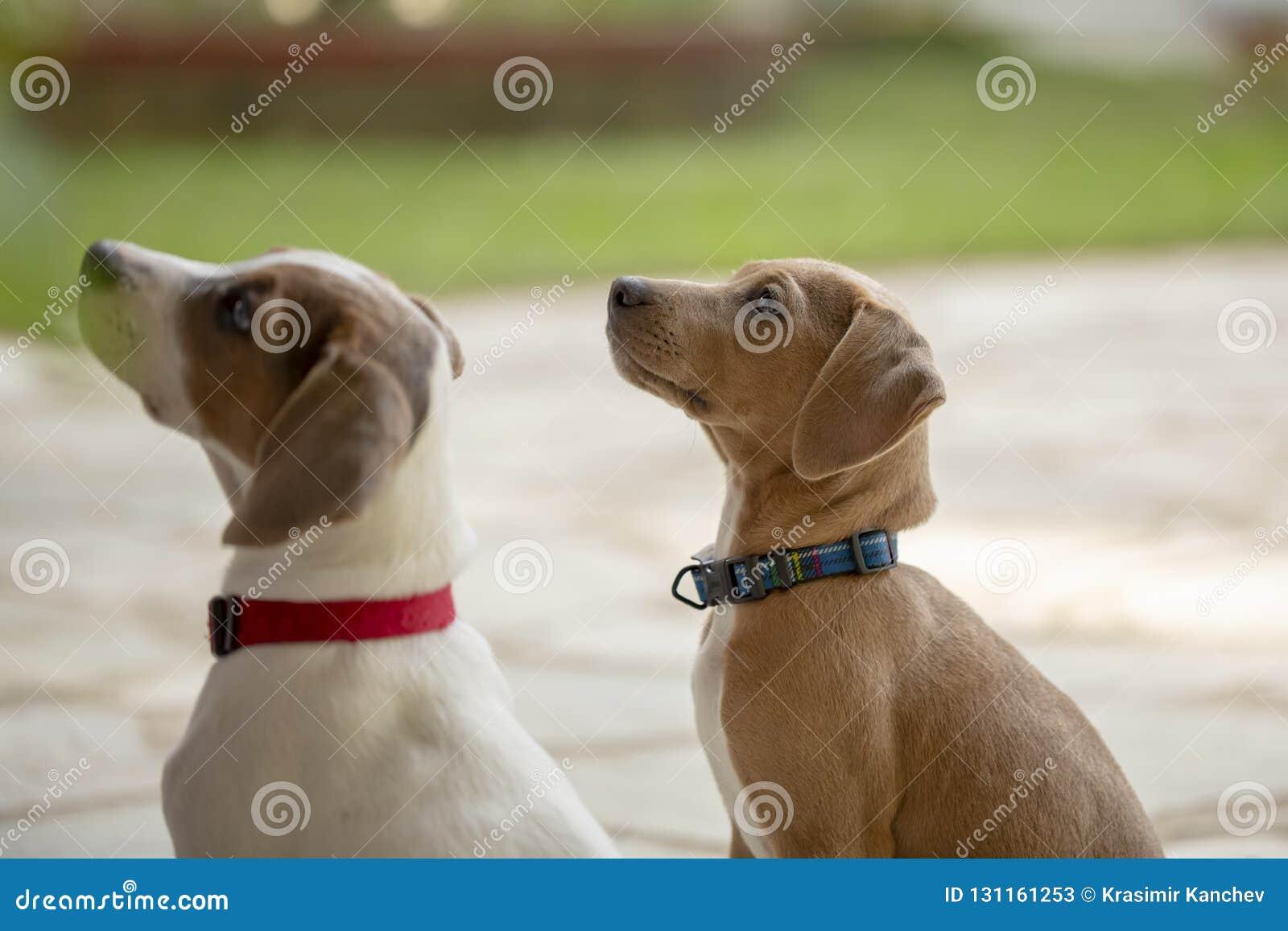 Dwa potomstwa Jack Russell Terrier outdoors przyglądającego up
