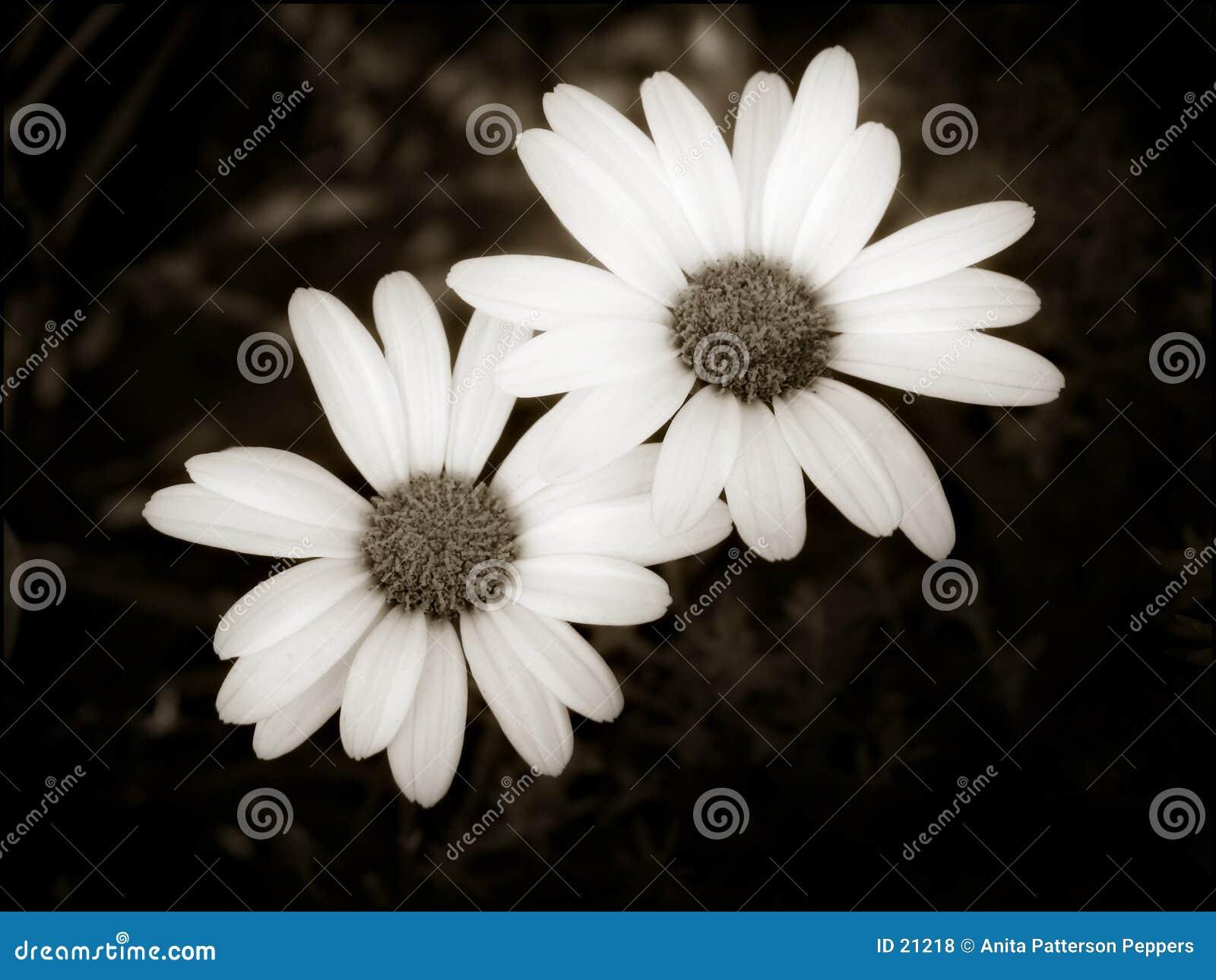 Dwa proste daisy