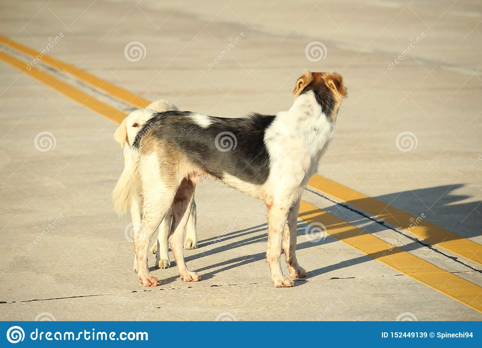 Dwa psa gawędzi na ulicie Rozmowa wśród zwierząt   Tajlandzcy psy