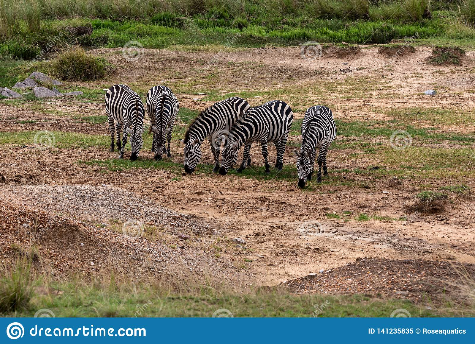 Dwa równiien zebra w Masai Mara, Kenja, Afryka
