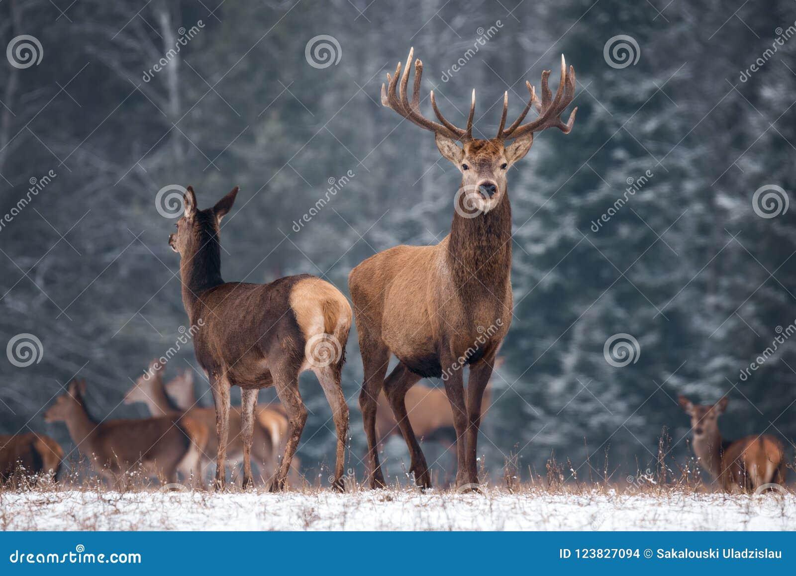 Dwa rogaczy Cervus Elaphus Przeciw tłu zima Lasowa I sylwetkom stado: Jeleń Z Pięknym rogiem