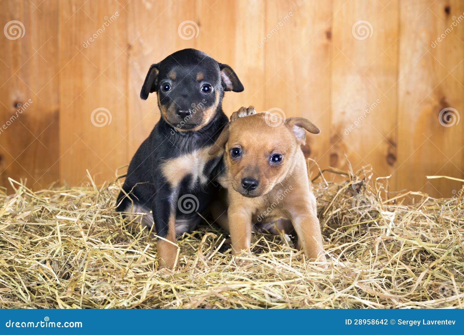 Dwa Rosyjskiego Zabawkarskich Terrier szczeniaka