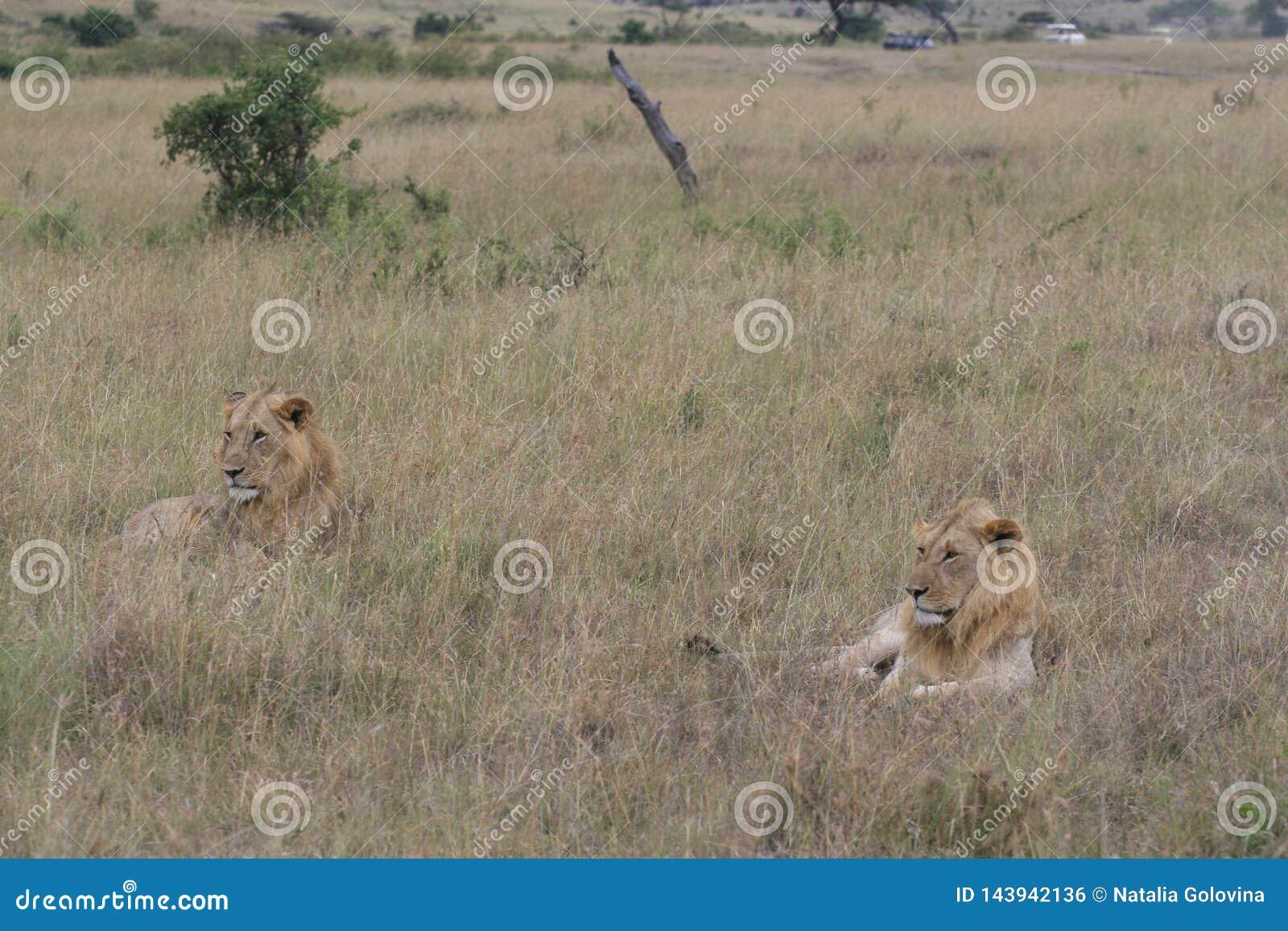 Dwa samiec lwa lying on the beach w suchej trawie odpoczywa w Masai Mara, Kenja