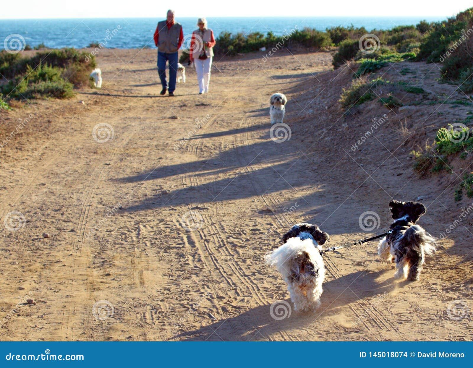 Dwa Shih Tzu psa wiązali w górę smycza biega samodzielnie z