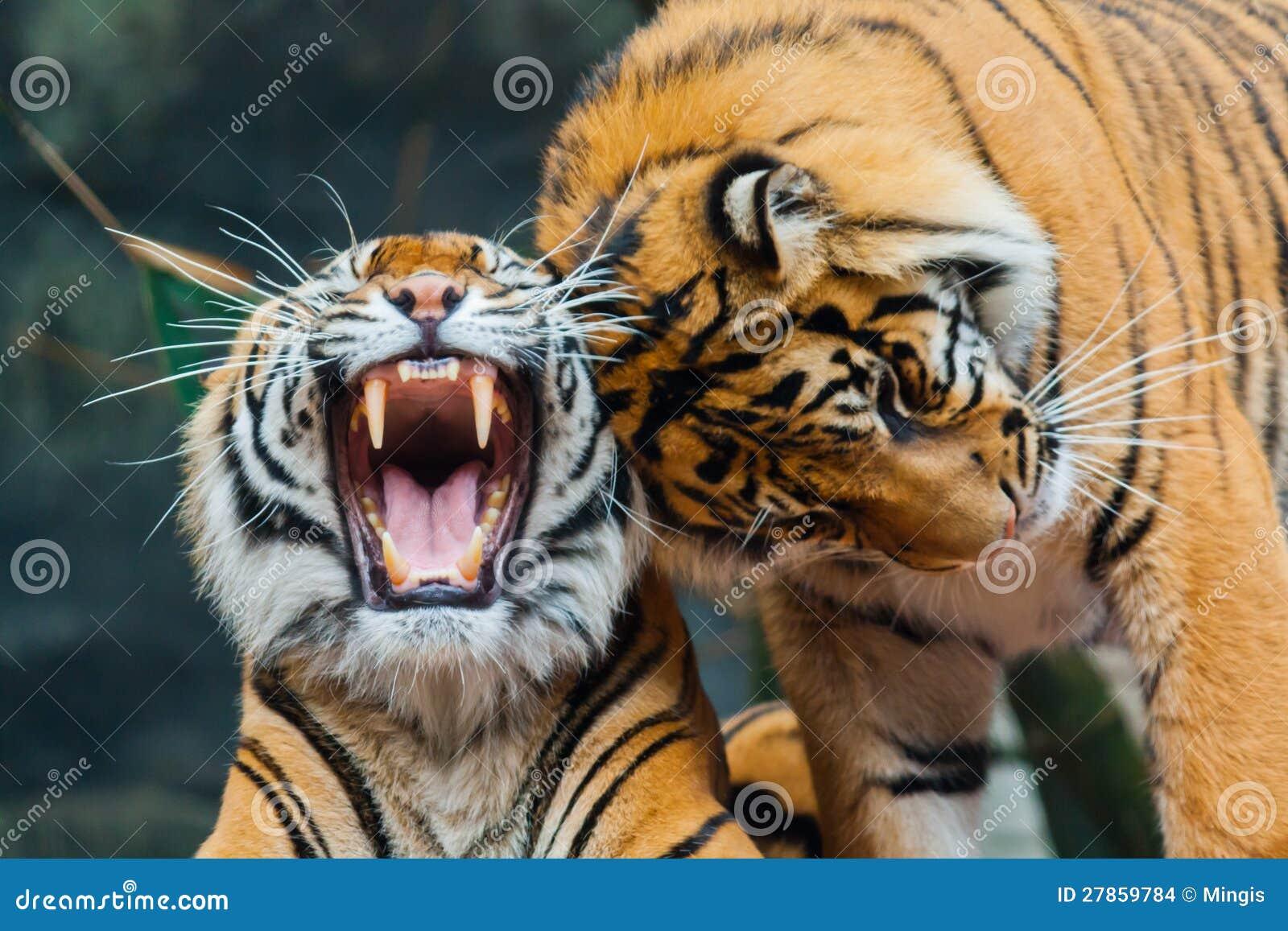 Dwa Sumatran tygrysa