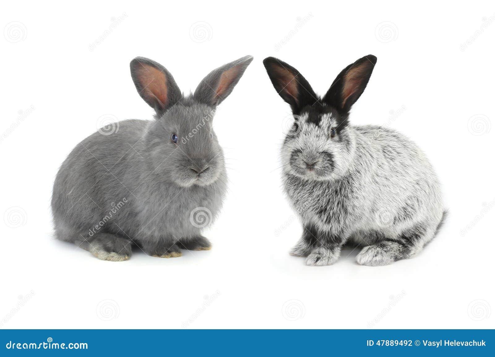 Dwa szarość królik