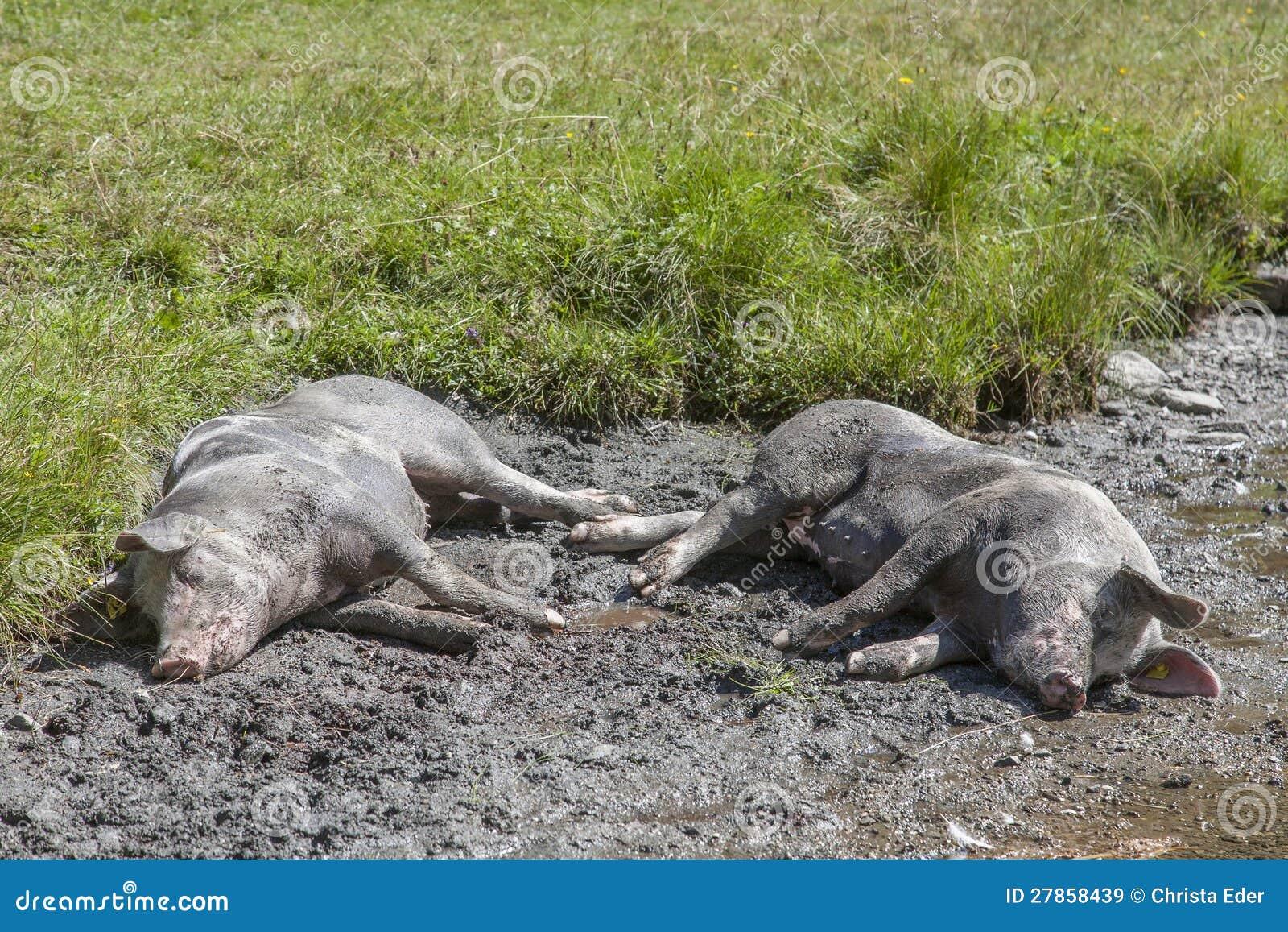 Dwa szczęsliwej świni