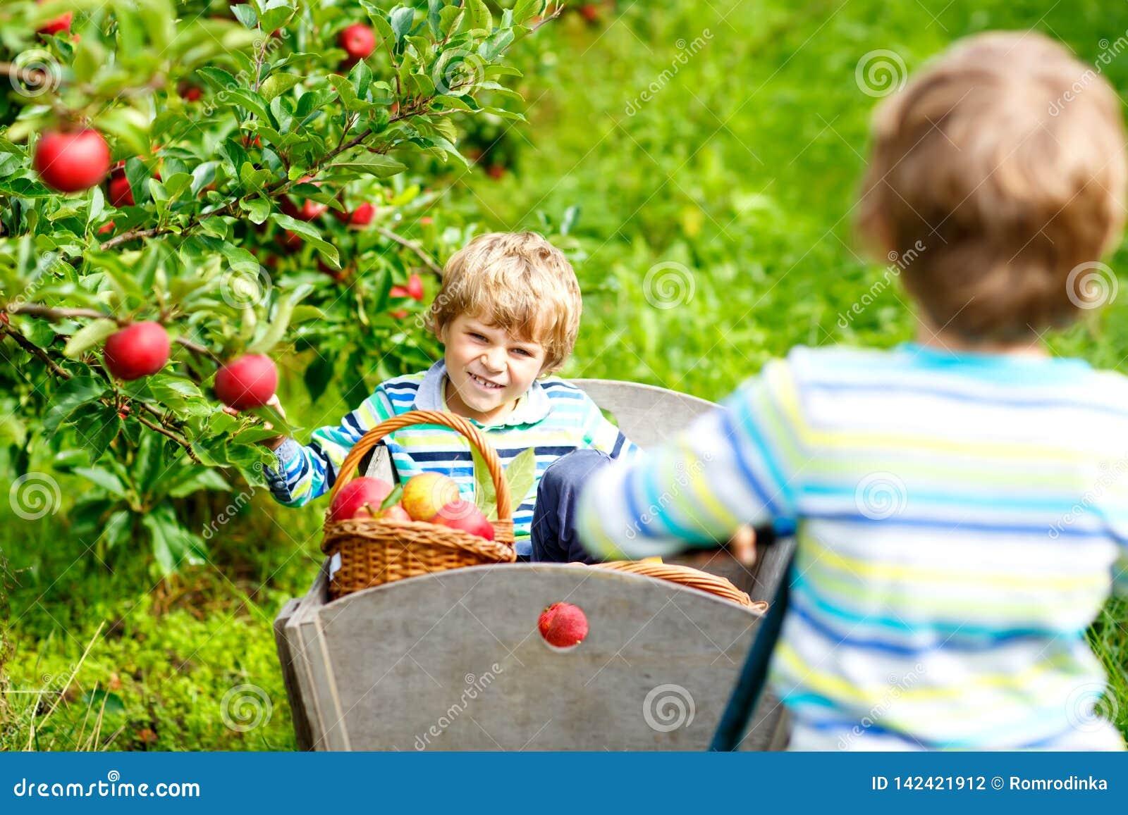Dwa uroczej szczęśliwej małe dziecko chłopiec podnosi czerwonych jabłka na organicznie gospodarstwie rolnym i je, jesień outdoors