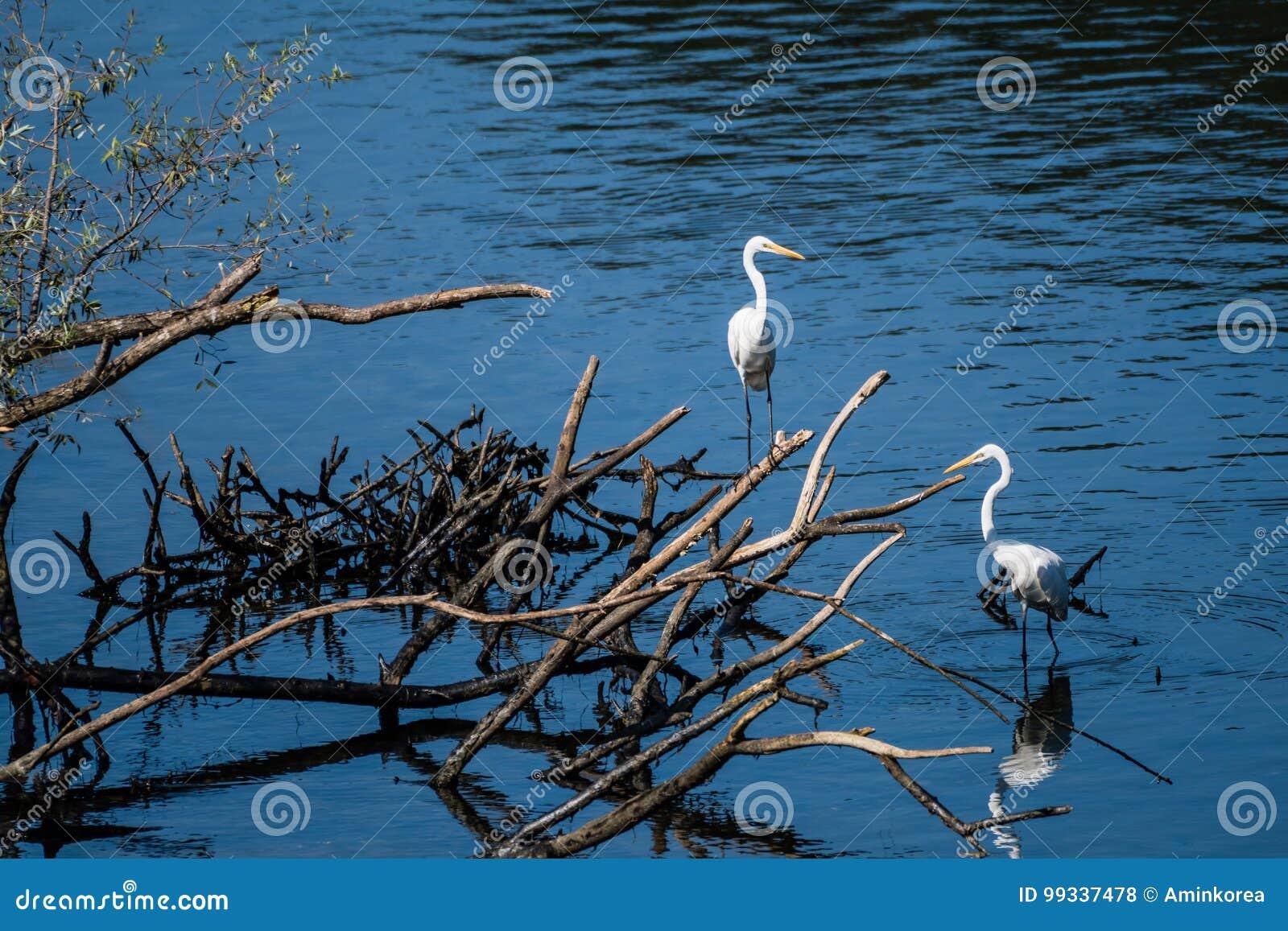 Dwa wielkiego białego egrets dzieli stos dryftowy drewno