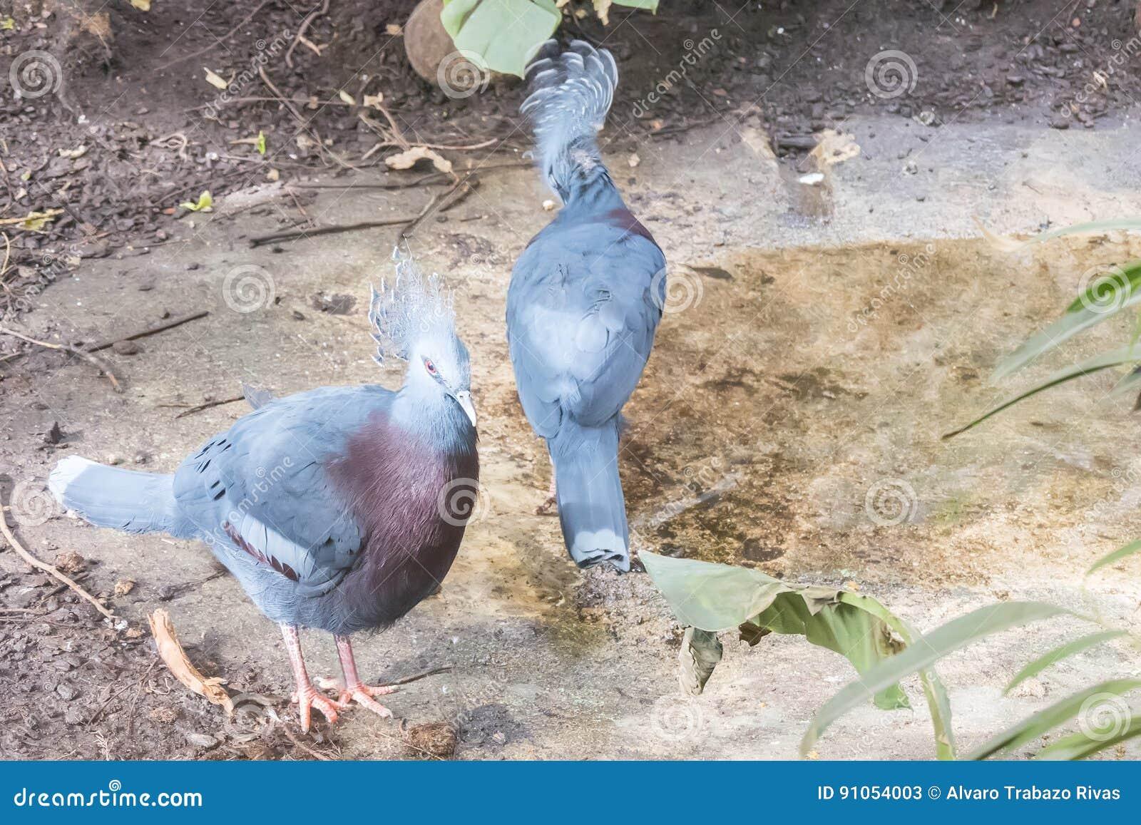 Dwa Wiktoria Koronowany gołąb, Columbidae