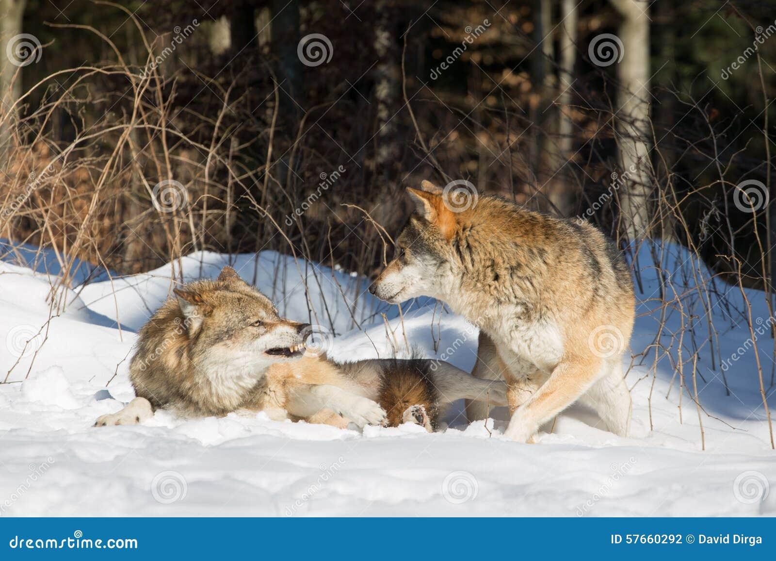 Dwa wilka, jeden w agresywnym, dalej w defensywnej postawie