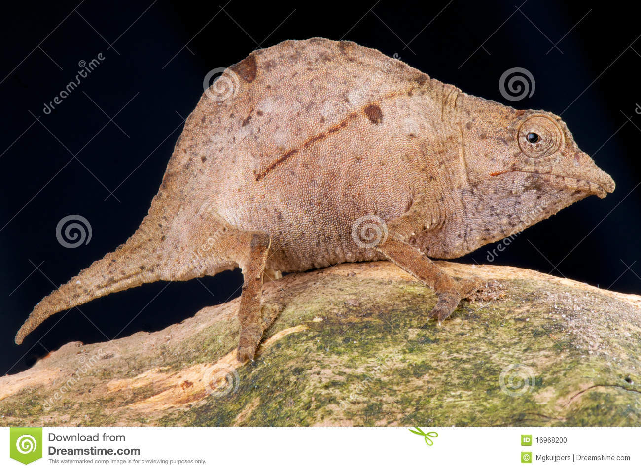 Dwarf Chameleon Stock Photo Image Of Slopes Chameleon