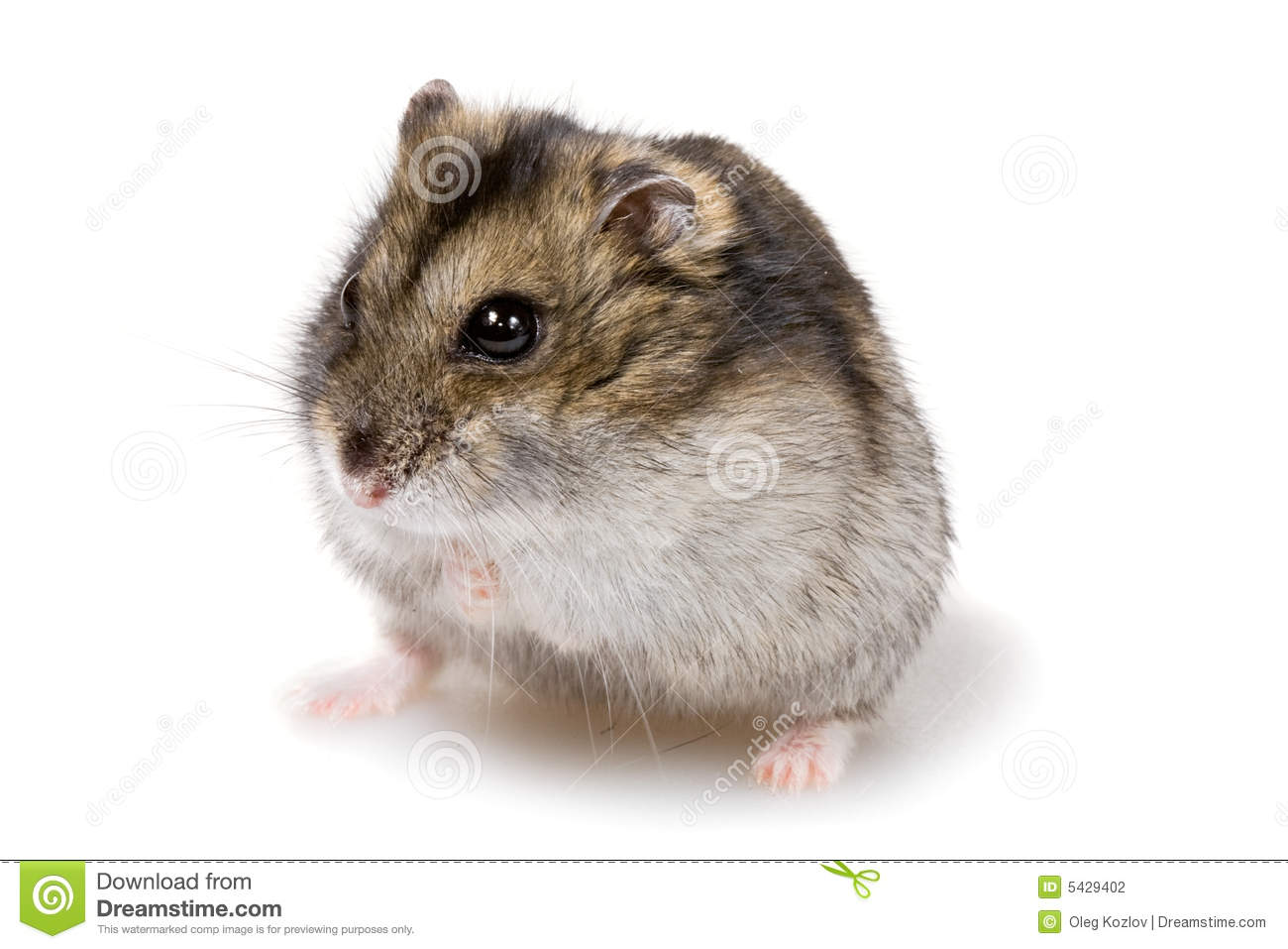 white dwarf hamsters with red eyes - photo #41