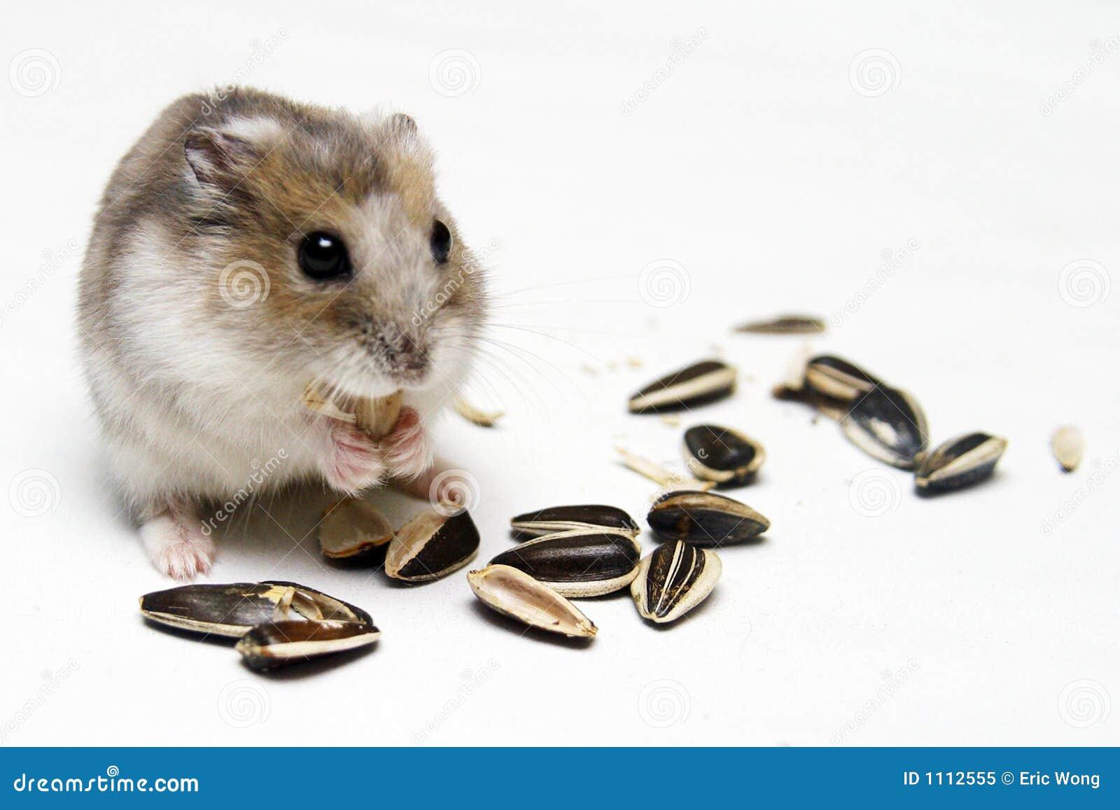Dwarf Hamster Eating Melon Seeds