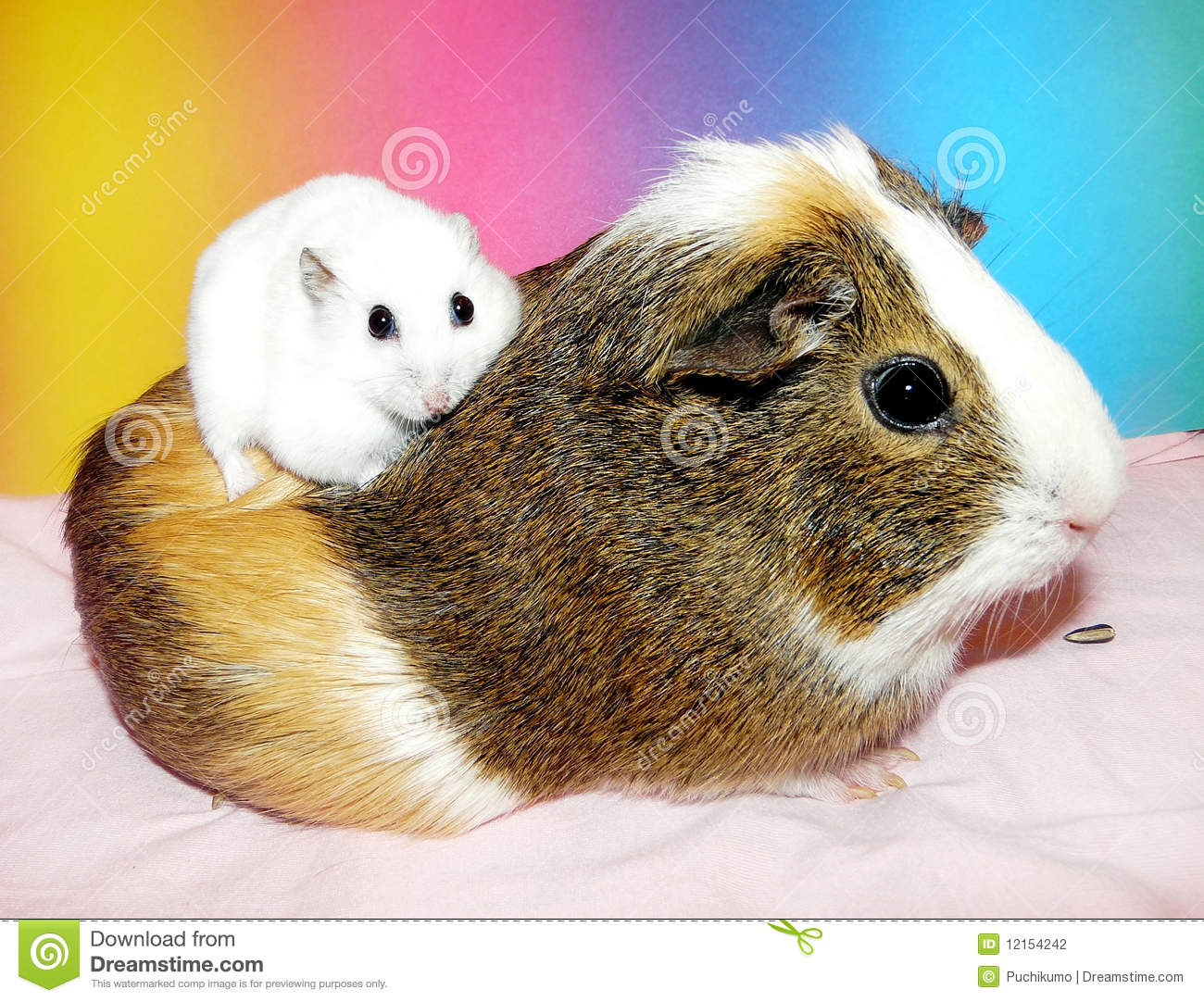 Uncategorized Hamster And Guinea Pig dwarf hamster sitting on guinea pig stock photography image royalty free photo download pig