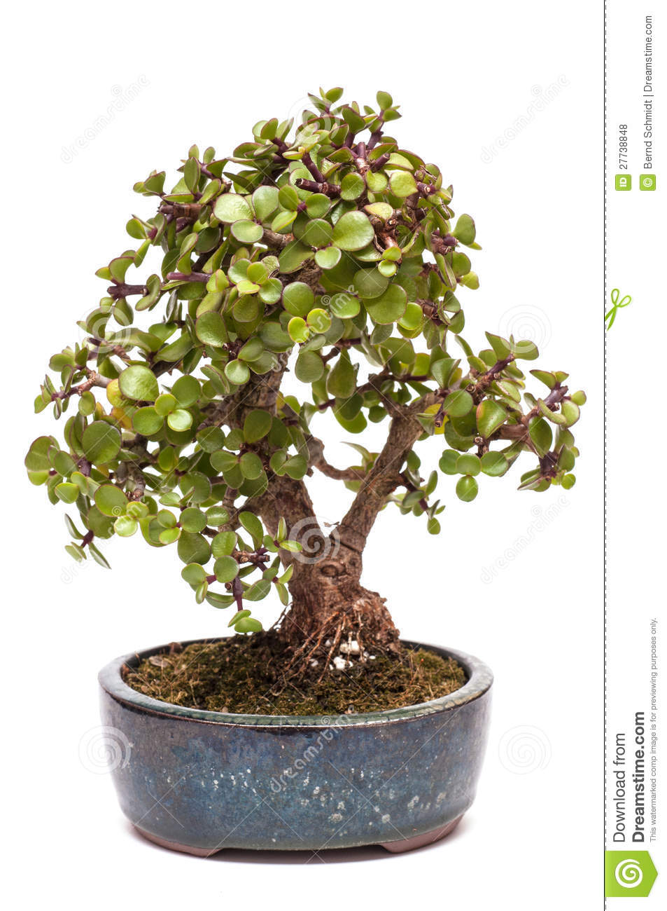 Flat modern design vector illustration concept of creative office room - Dwarf Jade Plant As Bonsai Tree Royalty Free Stock Photos