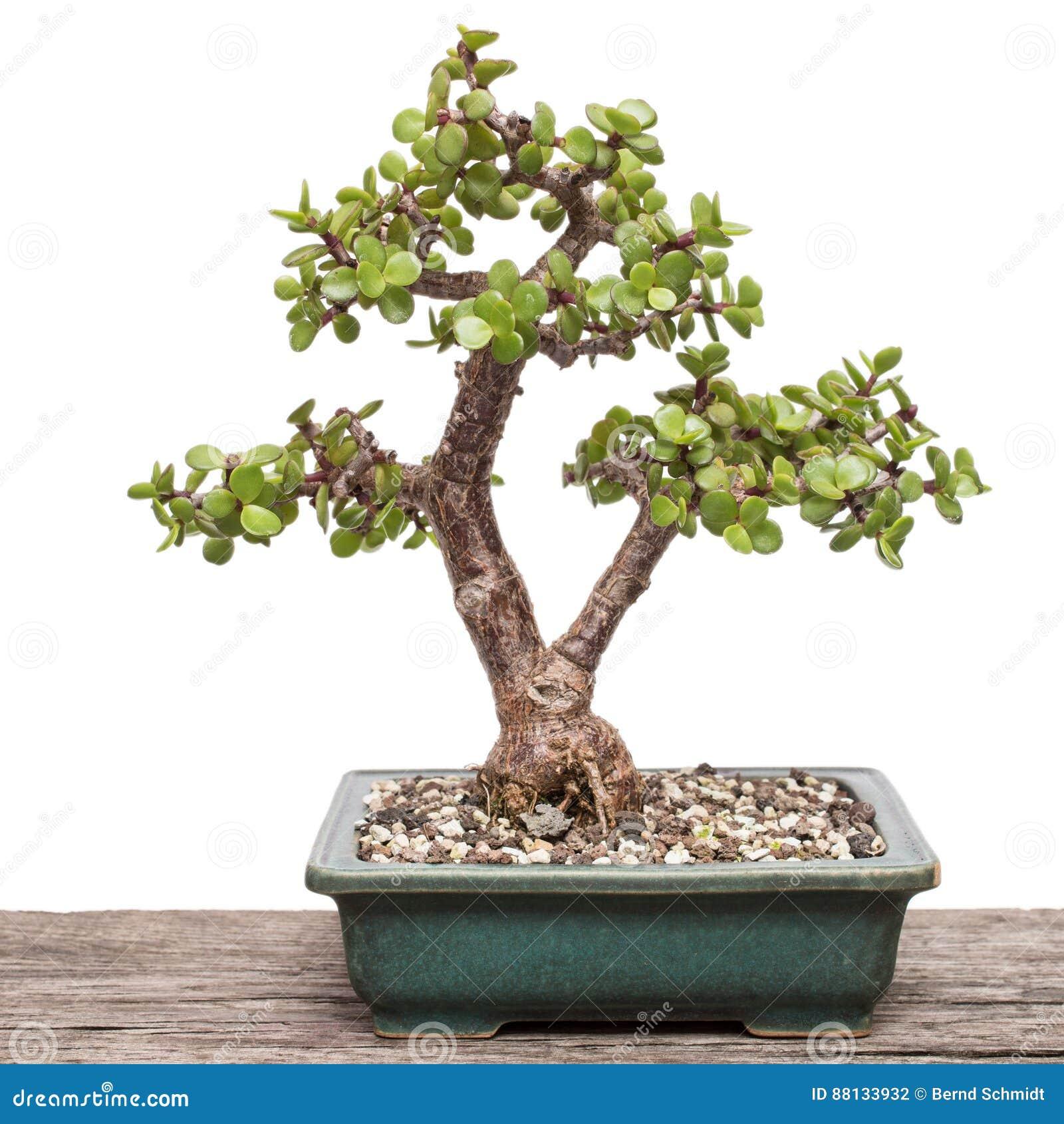 12 Plant Portulacaria Photos   Free & Royalty Free Stock Photos ...