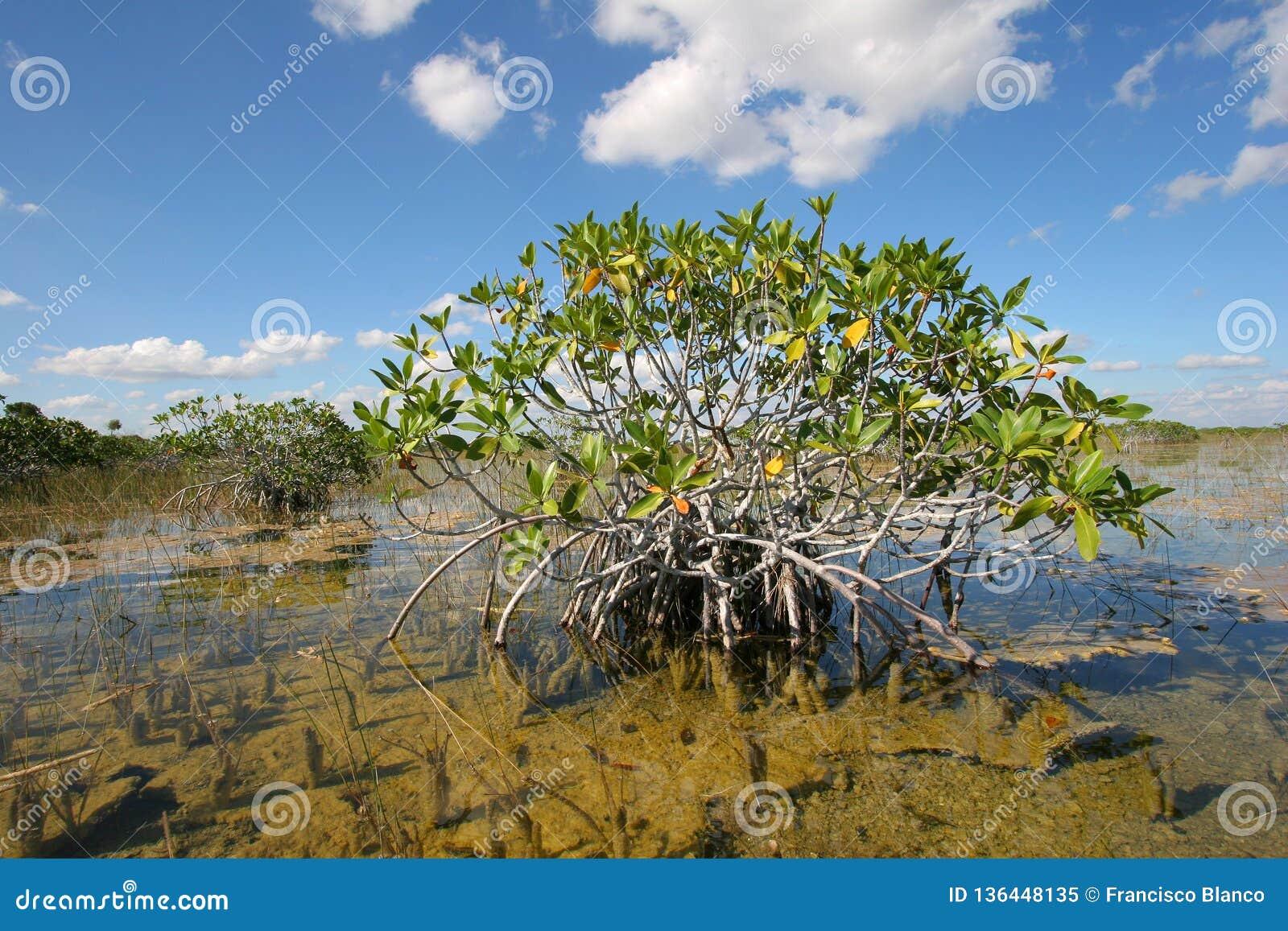 Dwarf Mangrove Trees of Everglades National Park, Florida.