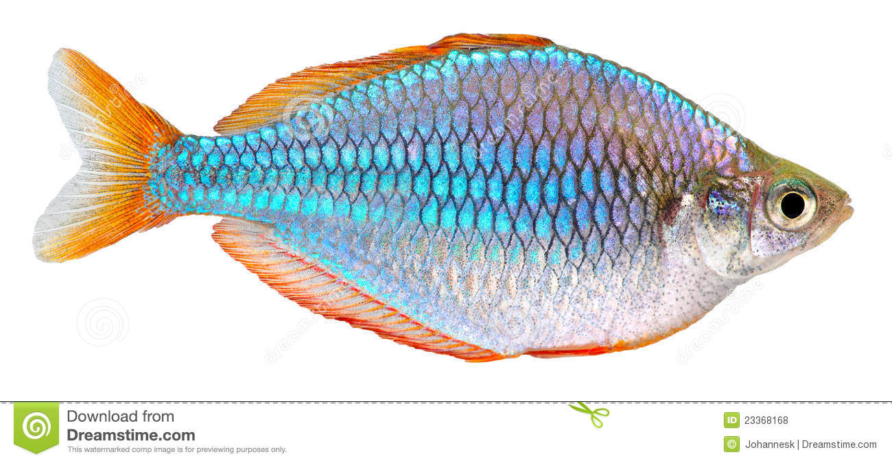 Dwarf Neon Rainbow fish isolated on white background. Melanotaenia ...