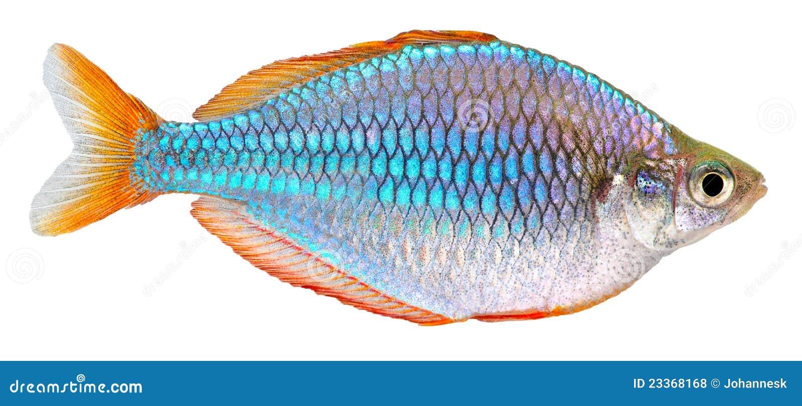 Dwarf Neon Rainbow fish isolated on white background. Melanotaenia ...