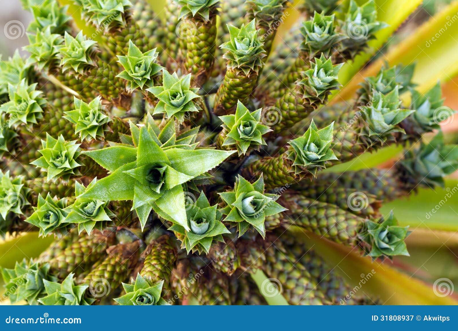 Dwarf Pineapple - Anan...