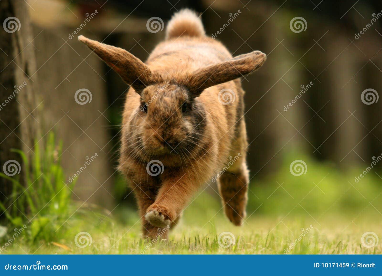 Dwarf rabbit running o...
