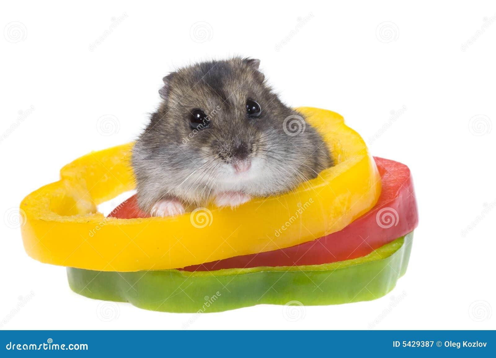Dwerg hamster