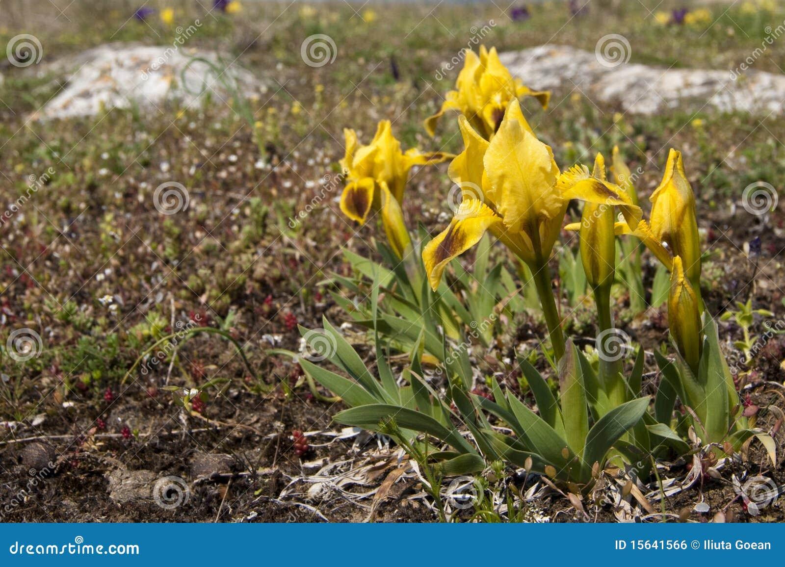 Dwerg Iris