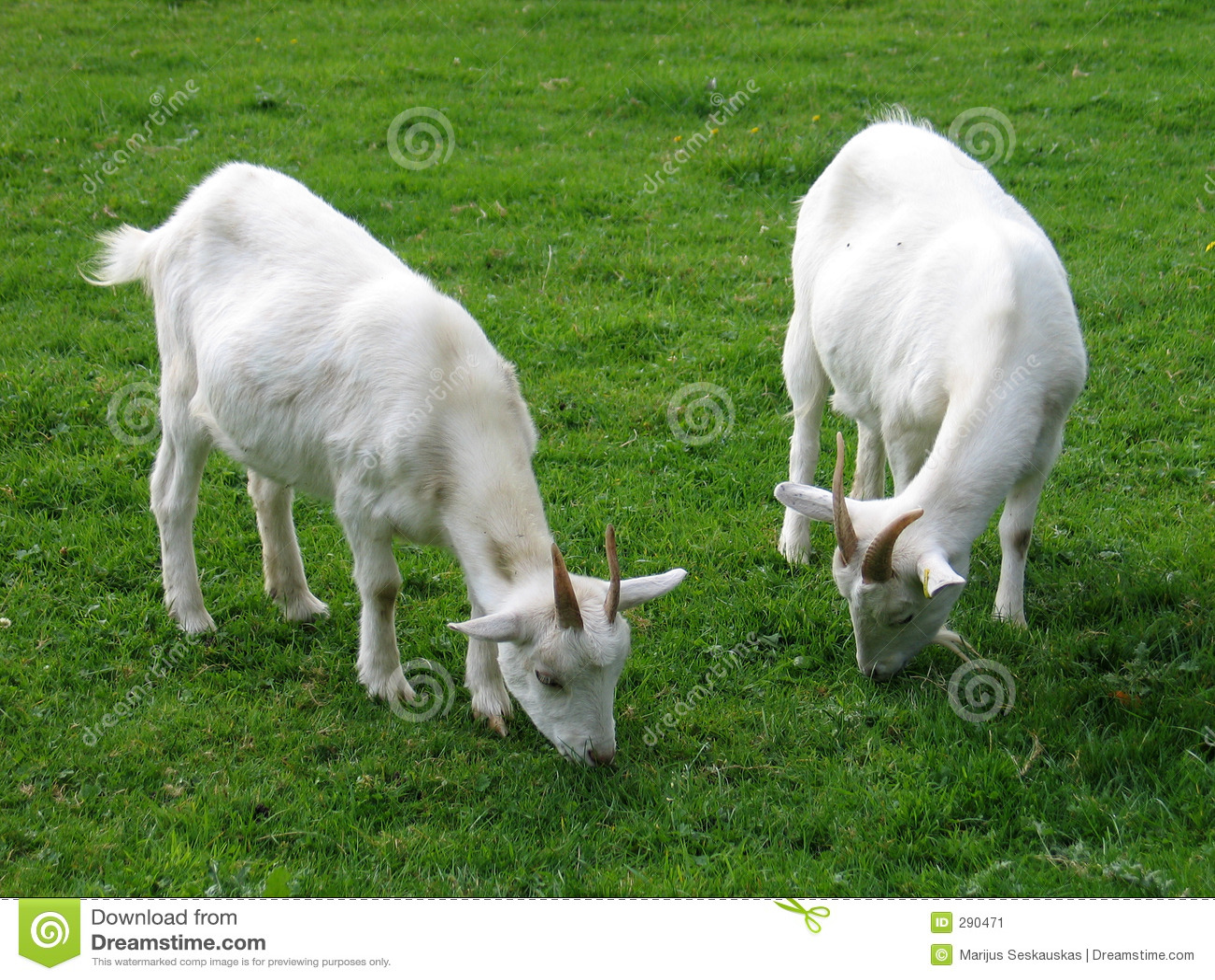 Dwie kozy