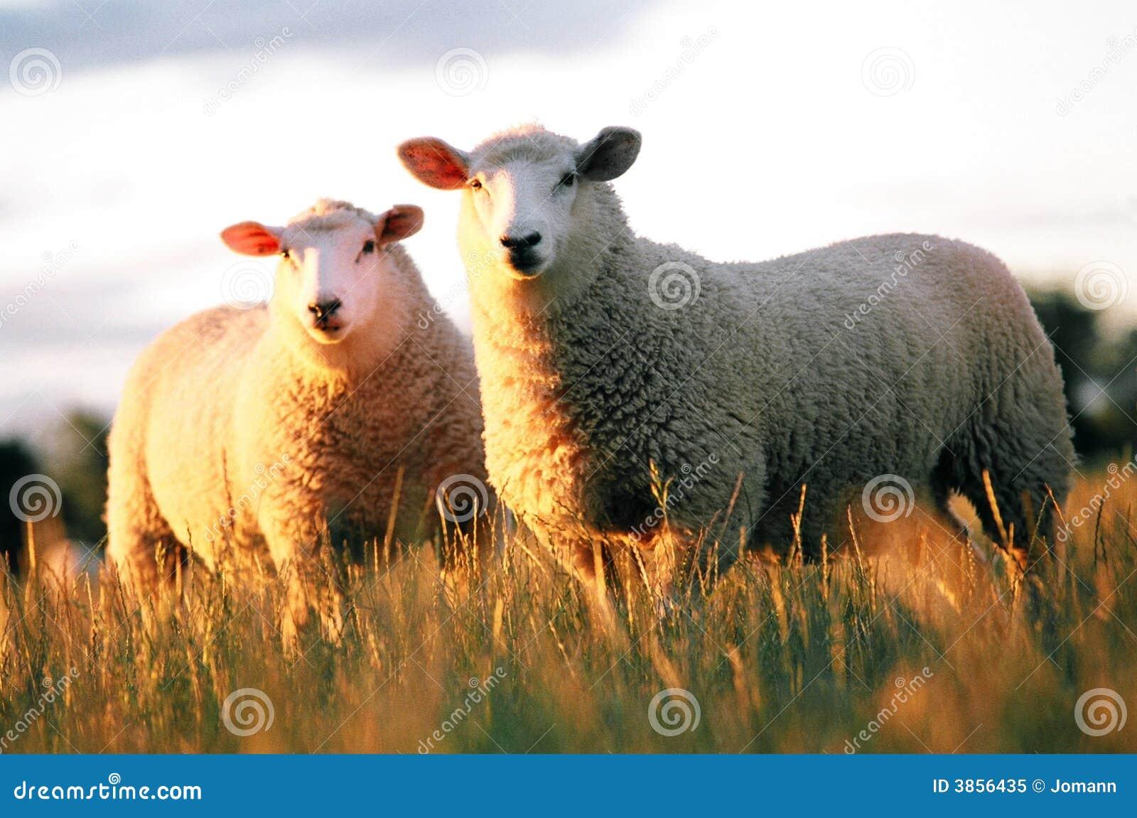 Dwie owce
