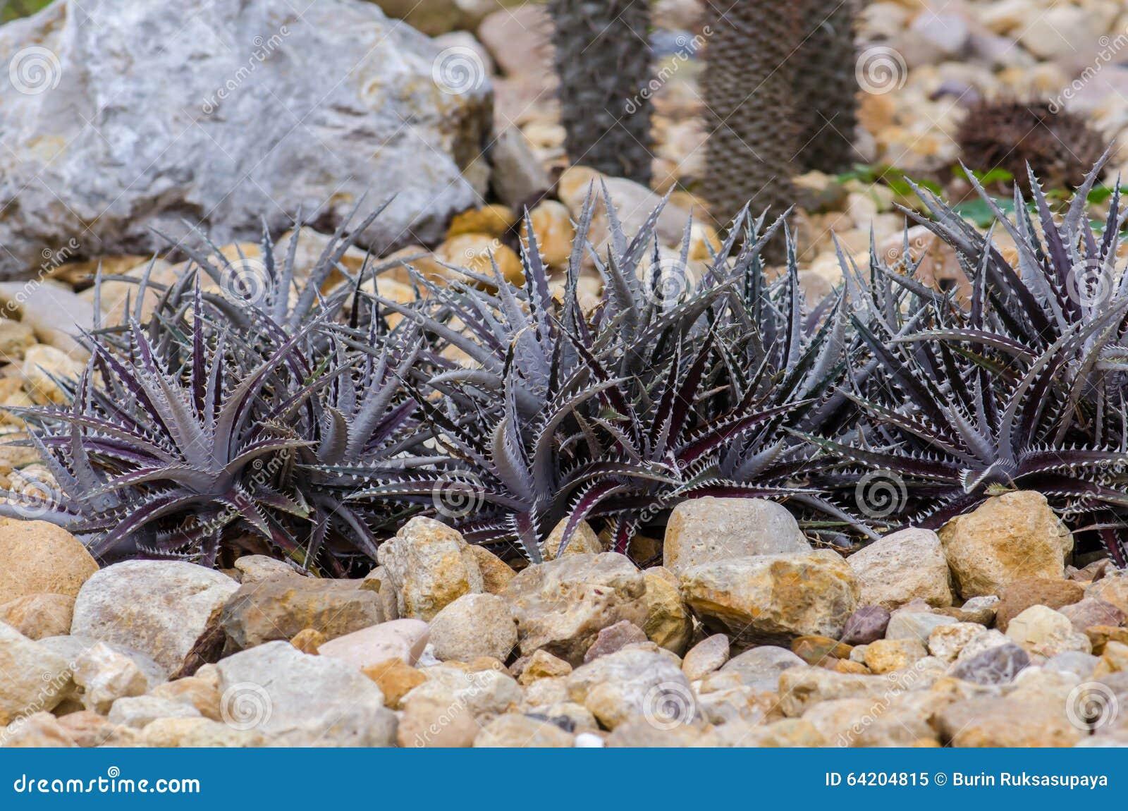 Dyckia nombrado cactus Arizona