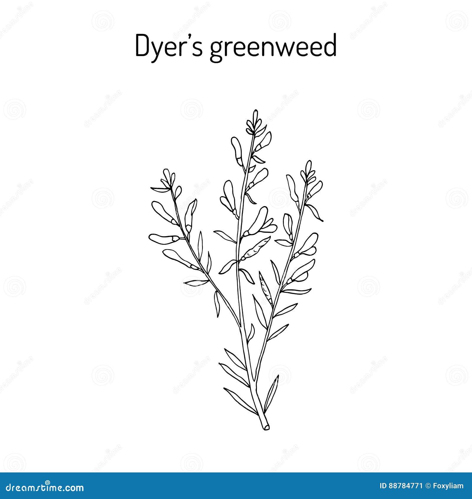 Dyer S Greenweed Or Dyer S Broom Genista Tinctoria