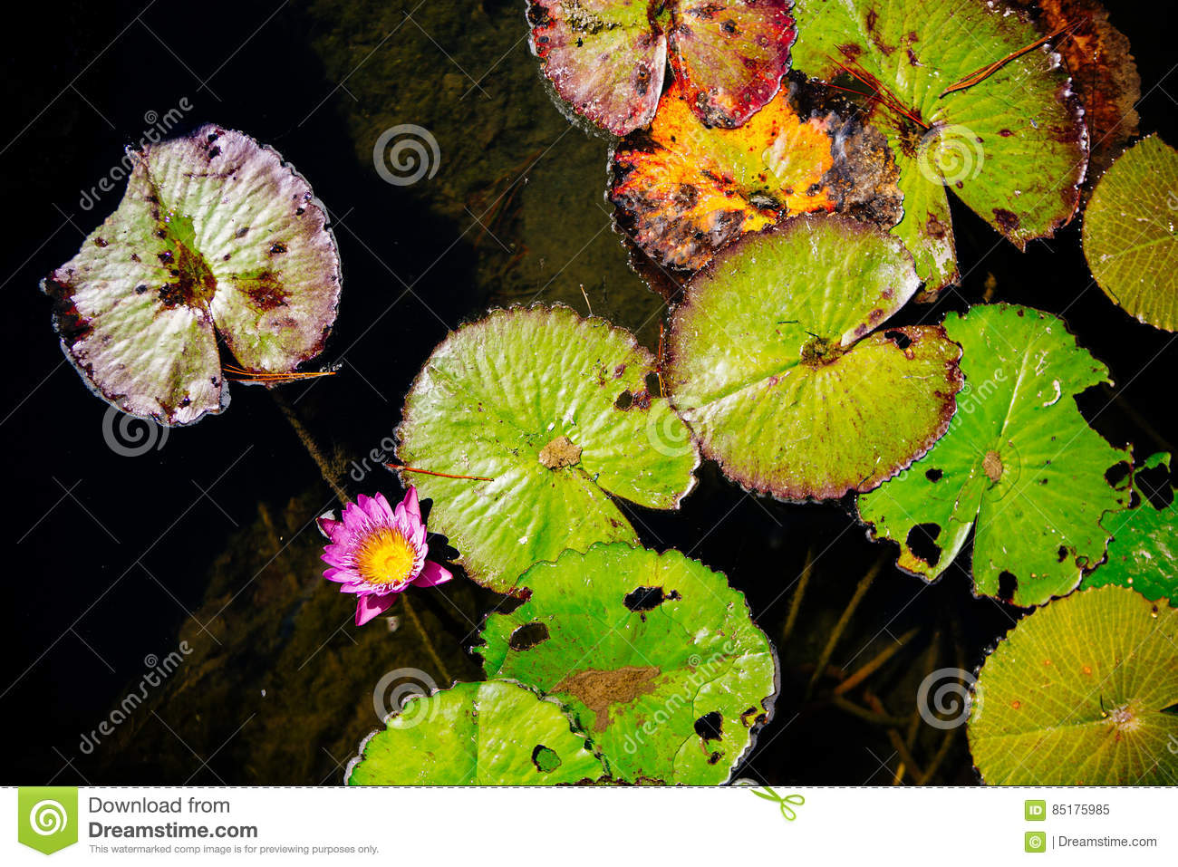 Dying lily pads in a pond with insect damage stock image image of dying lily pads in a pond with insect damage turning yellow and brown as decay sets in showing the life cycle of plants with a single pink lotus flower izmirmasajfo