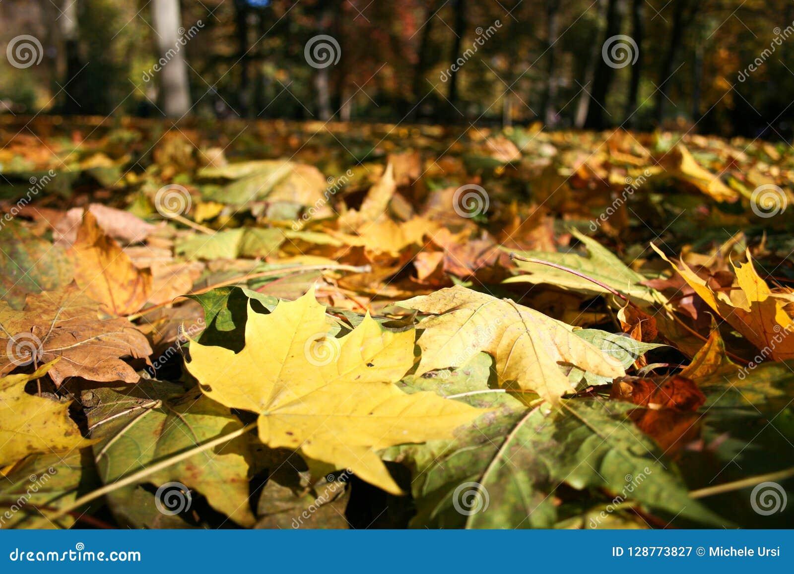 Dywan barwioni liście klonowi
