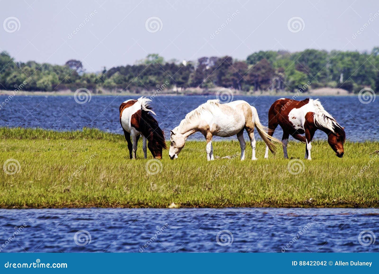 Dzicy Assateague konie