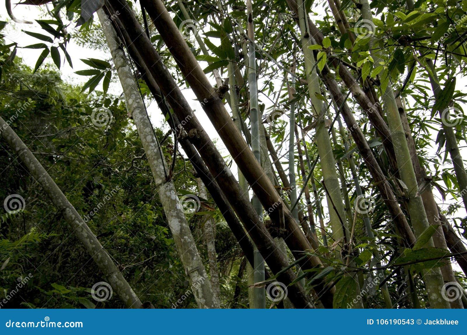 Dzicy bambusy r Taiwan