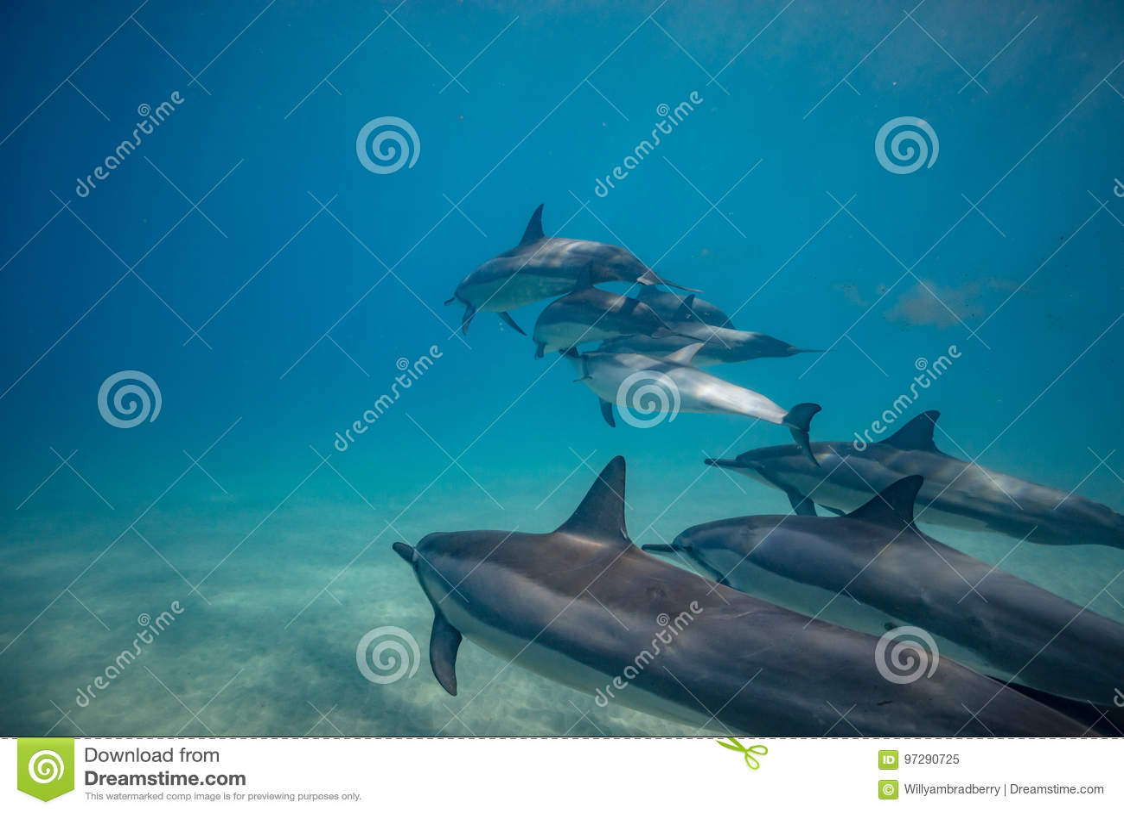 Dzicy delfiny podwodni w głębokim błękitnym oceanie
