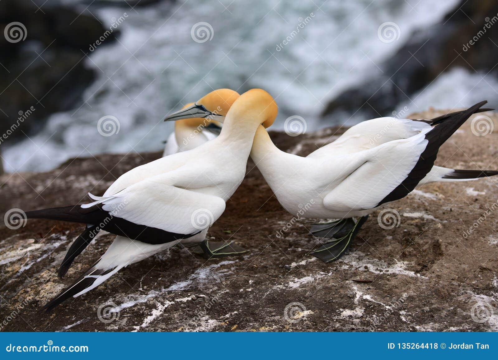 Dzicy gannets w koperczaki przy Muriwai, Nowa Zelandia