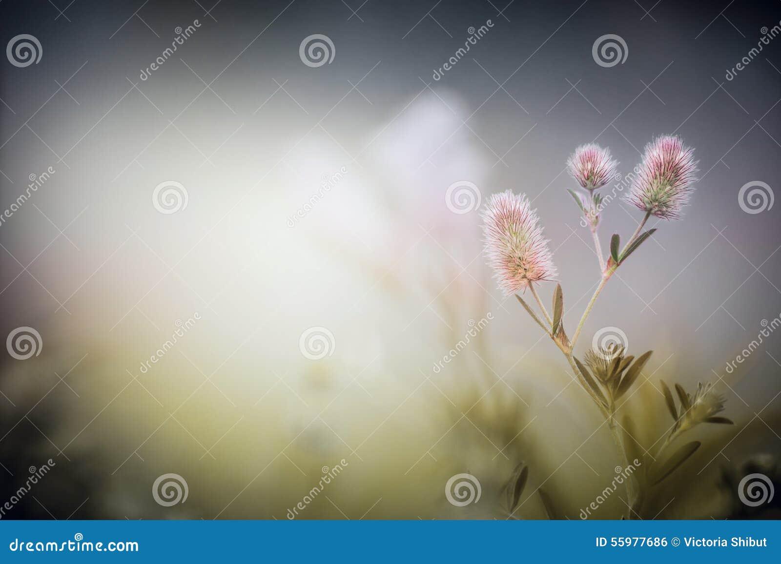 Dzicy kwiaty na półmrok mgły natury tle arvense koniczyny trifolium