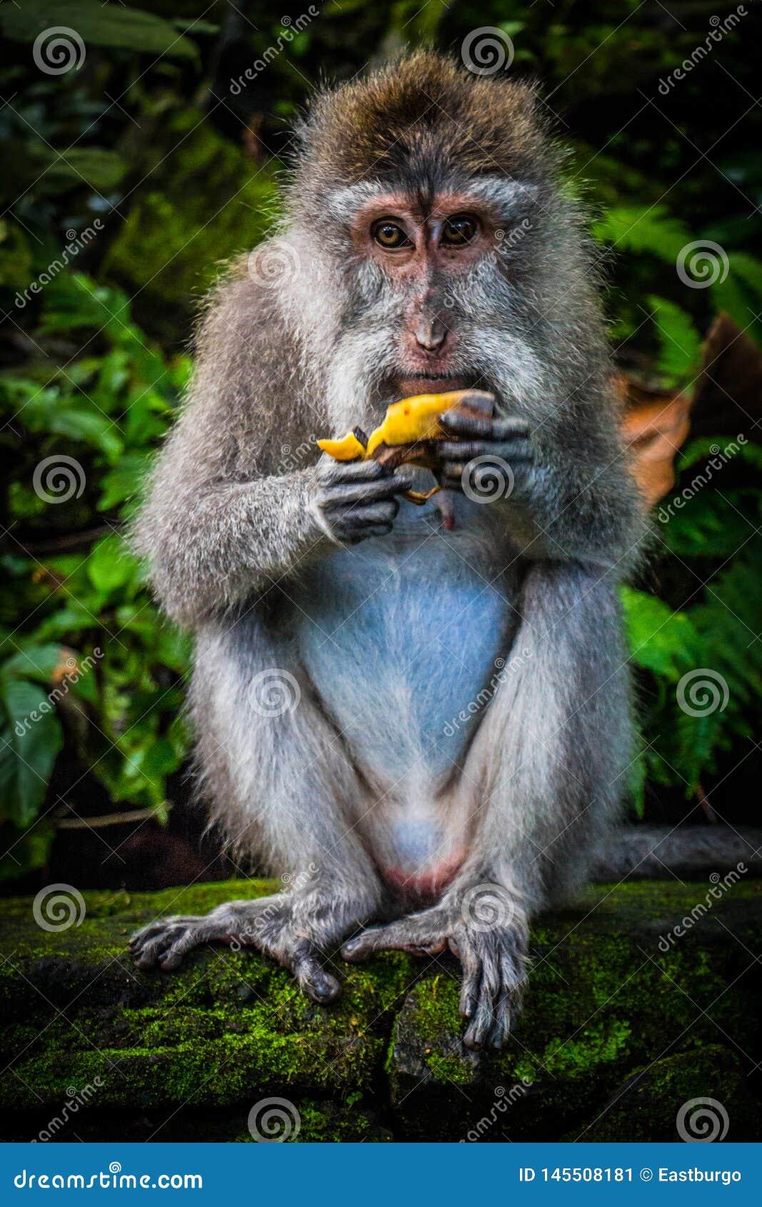 Dzicy Małpi wschody banan
