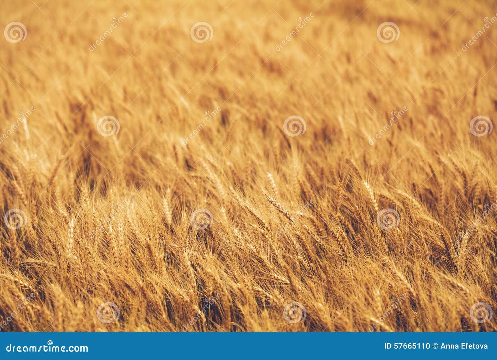 Dzień lata gorąca pola pszenicy