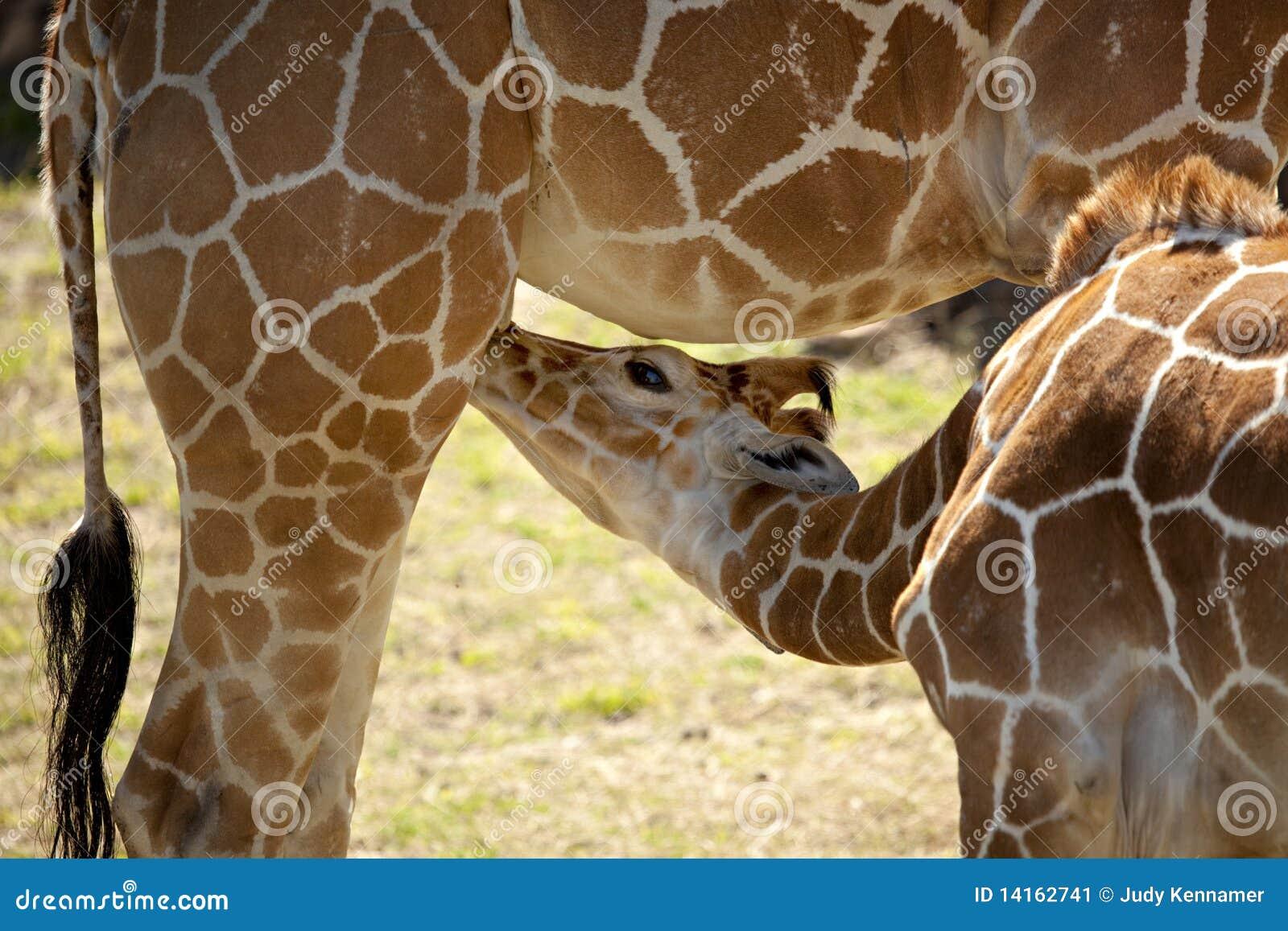 Dziecka żyrafy matka
