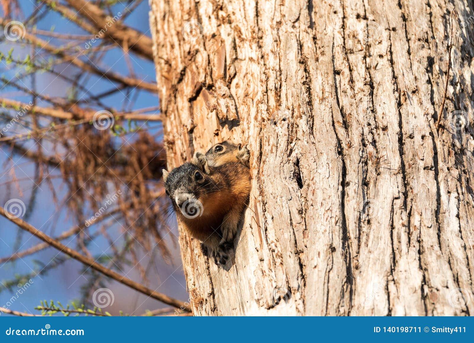 Dziecka Fox wiewiórki zestawu Sciurus Niger ono przygląda się nad wierzchołkiem swój matka w gniazdeczku