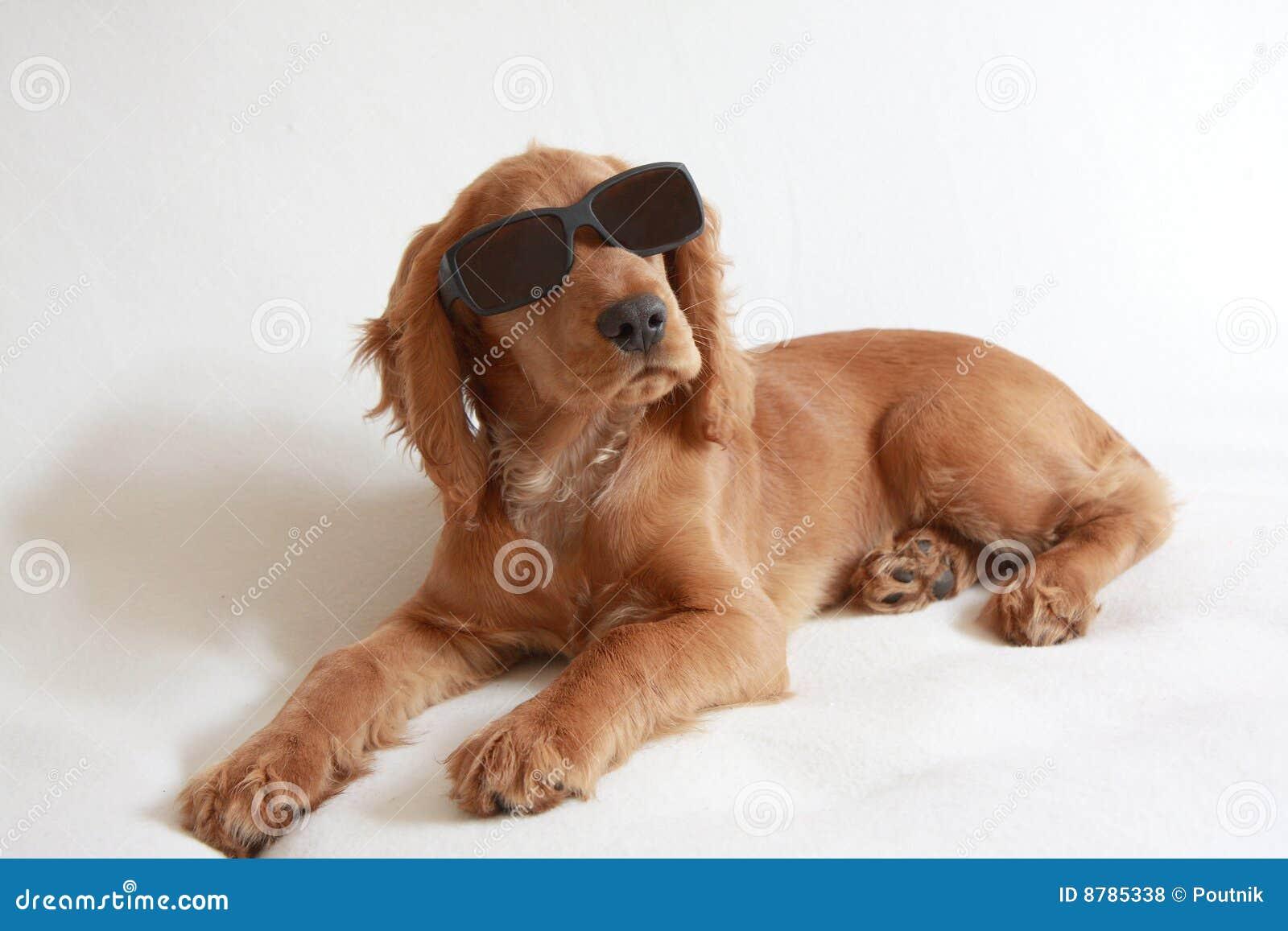 Dziecka kokera psa angielscy spaniela okulary przeciwsłoneczne