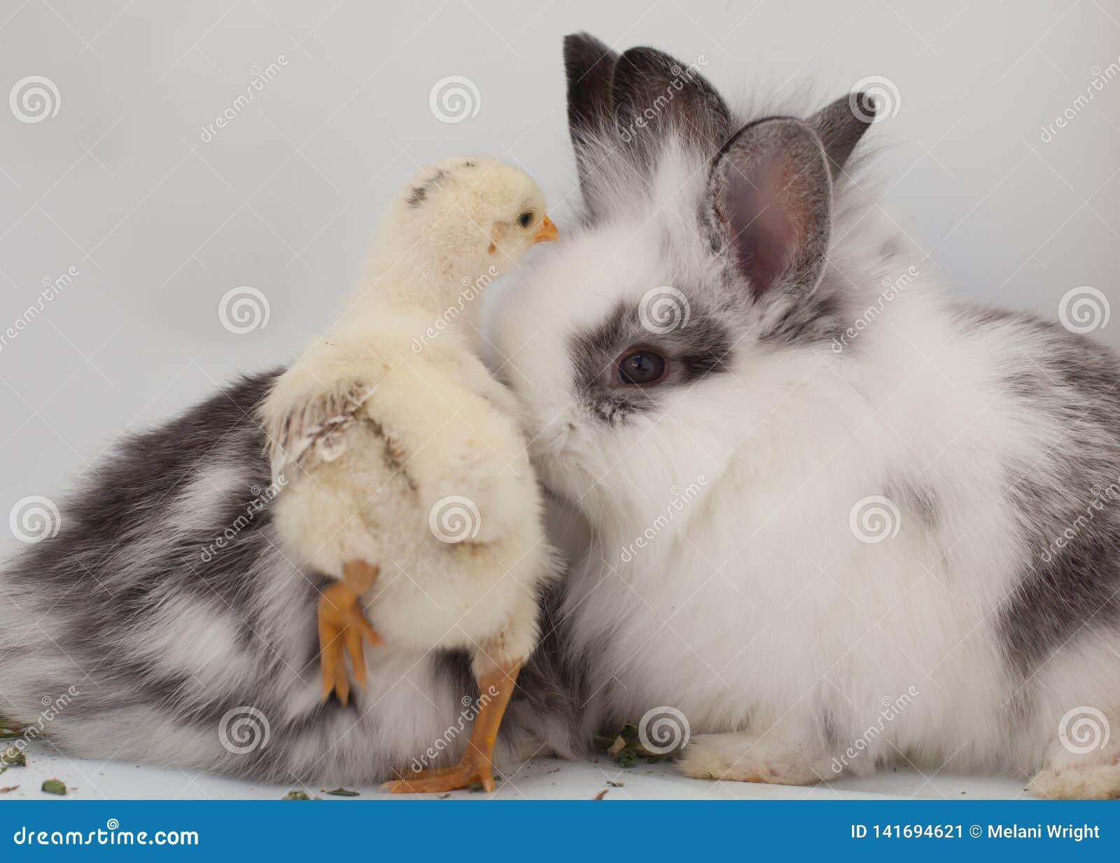 Dziecka kurczątko i dwa dziecko królika pokazujemy na białym tle