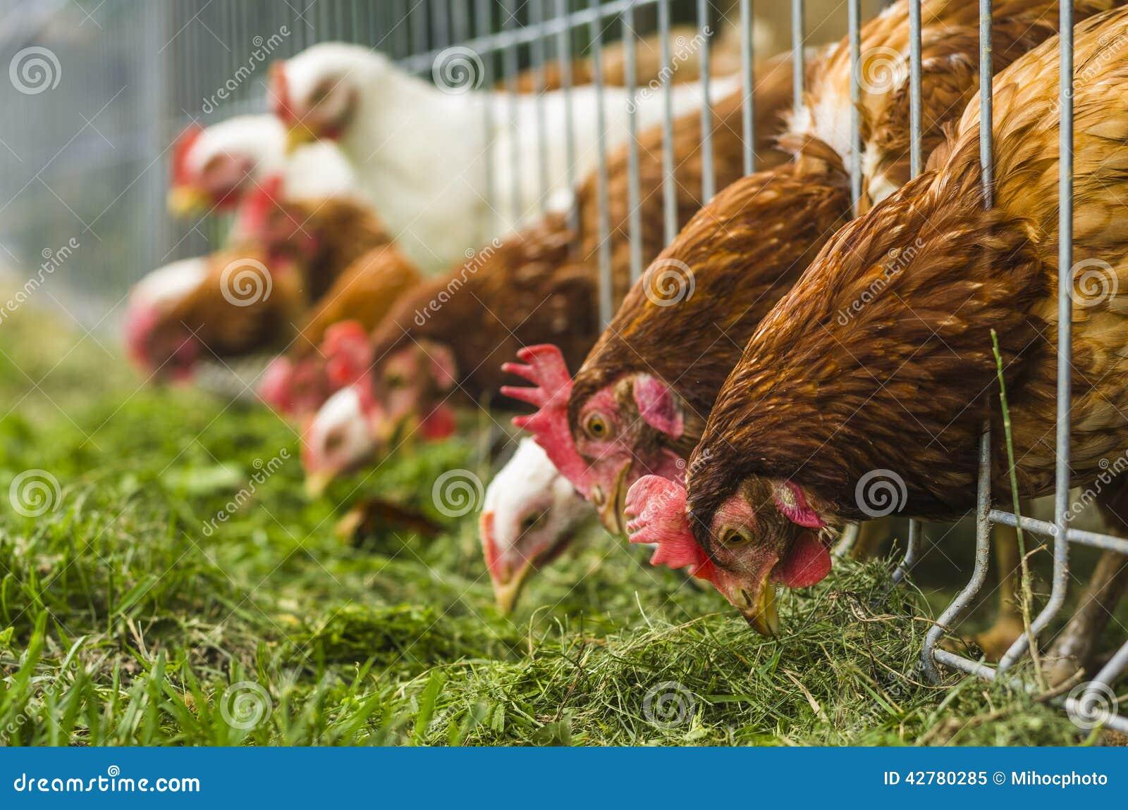 Dziecka kurczaka gospodarstwa rolnego kratownica