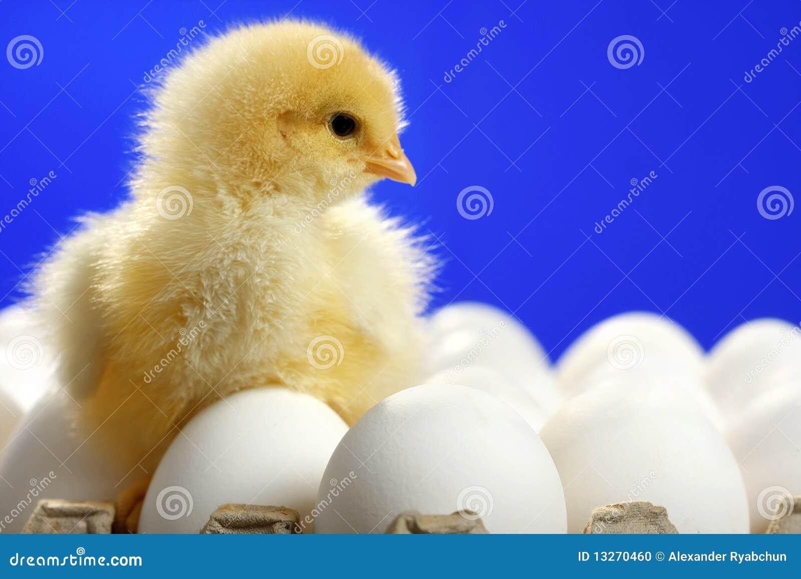 Dziecka kurczaka jajka biały
