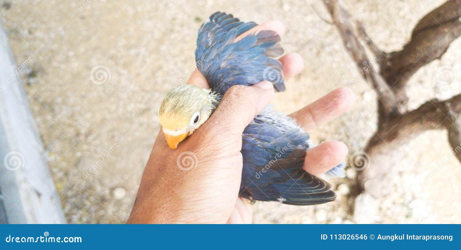 Dziecka lovebird